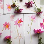 cosmos flower watercolor sketches